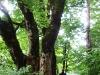 Ogromna drevesa.