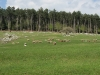 Ovce na pašniku v Jurišču.