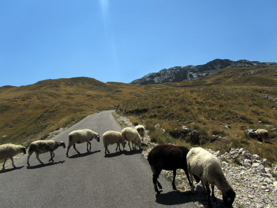 Ovce na cesti.